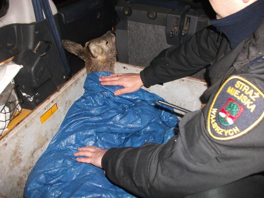 Eko Patrol uratował małego koziołka