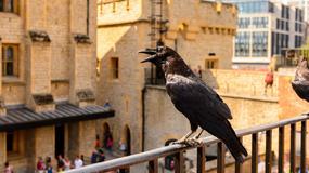 Kruki z londyńskiej Tower