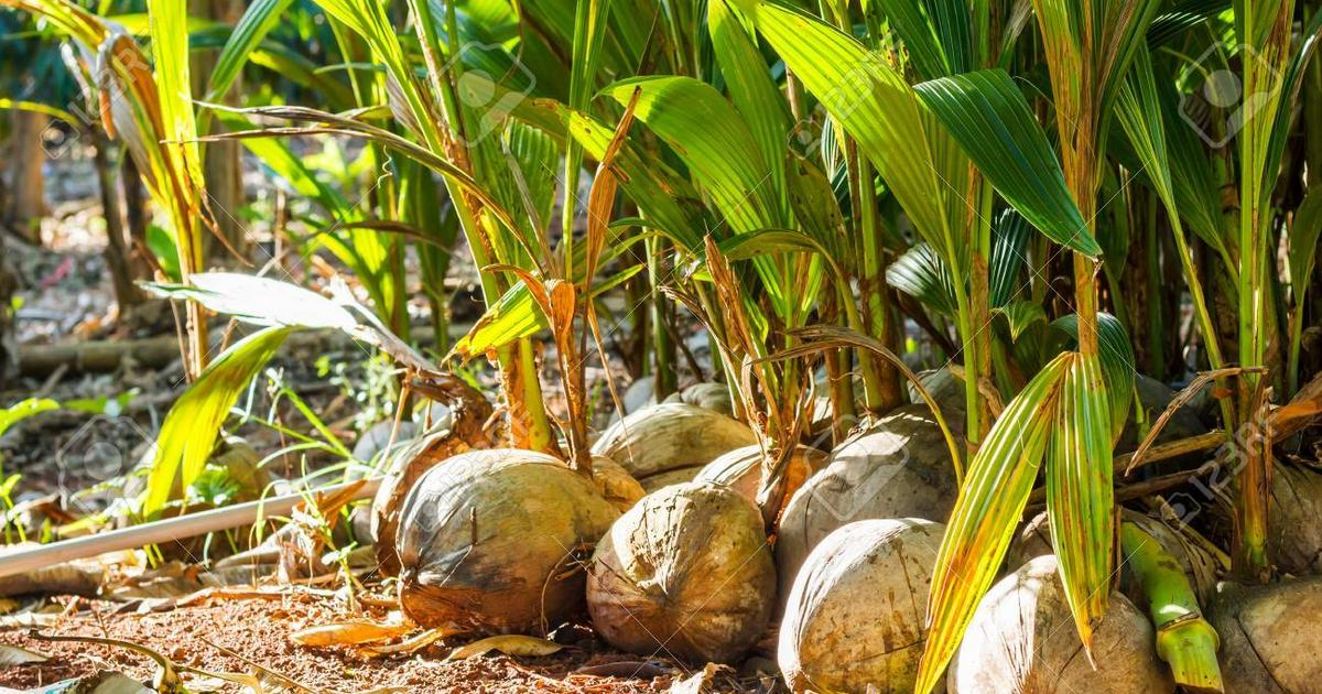Nigerian coconut traders accuse Ghanaians of forming coconut cartels to halt export - Pulse Ghana
