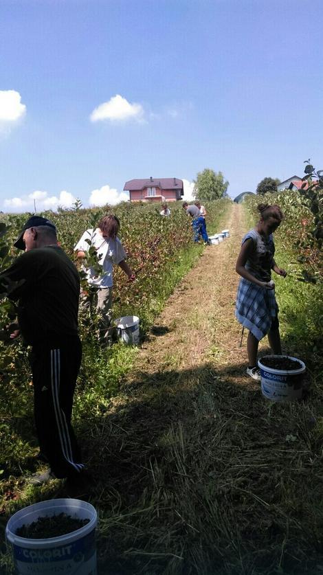 Momčilo Novaković ima plantažu aronije