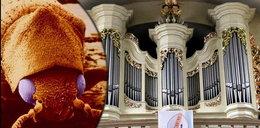 Dramat parafian. Larwy niszczą nasze organy
