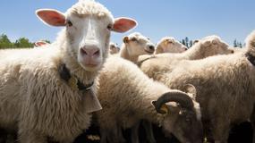 Wypas owiec korzystny dla wałów przeciwpowodziowych