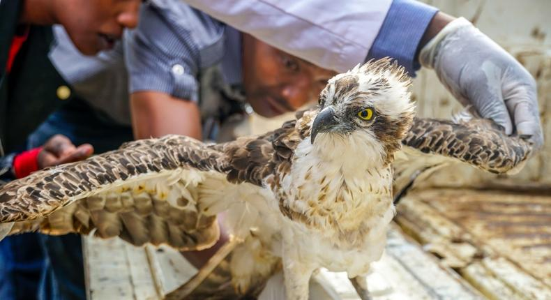 Kenyans react to KWS announcement on death of Osprey bird that flew from Finland