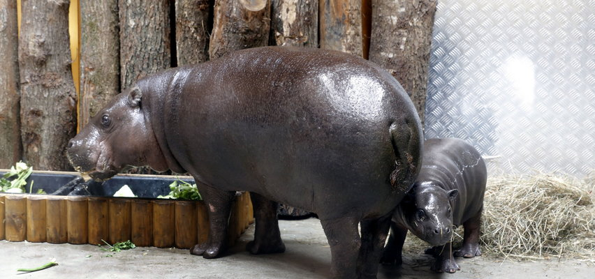 """Ale atrakcje w zoo w Gdańsku! Nowy dom dla hipopotamów, a oprócz tego Ona, """"urocza młoda dama"""""""