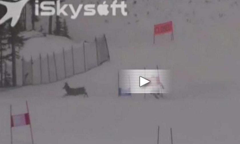 Jeleń wyskoczył gdy jechał rozpędzony narciarz