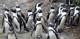 To są afrykańskie pingwiny!