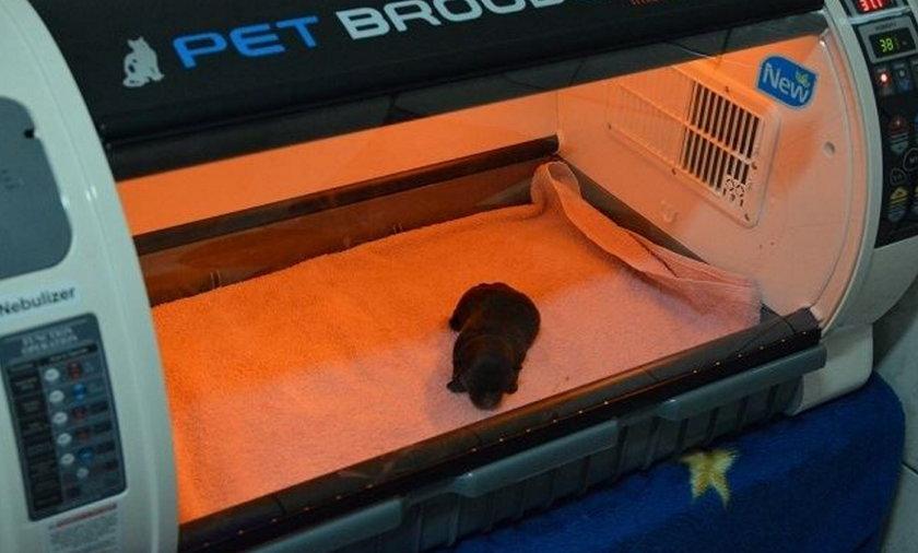 Chorzów. Uratowany szczeniak w inkubatorze