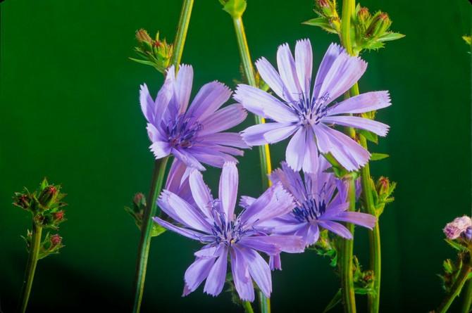 Poznata je po svojim jarkoplavim cvetovima