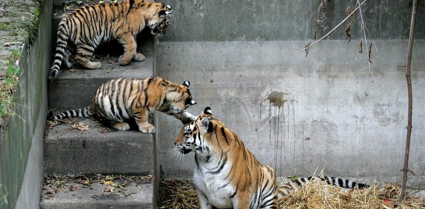 Walka zakończyła się śmiercią 13-letniej tygrysicy Wali