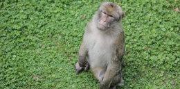 Małpa porwała noworodka. Finał był tragiczny
