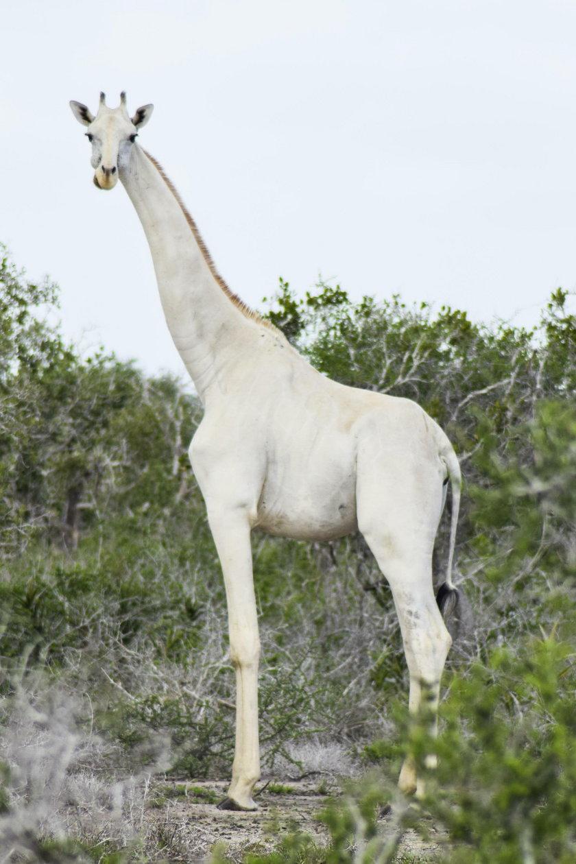 Sfotografowano białe żyrafy