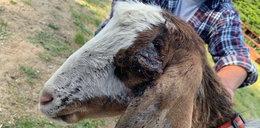 Zadał kozie cios siekierą w głowę, bo chciał ją zgrillować