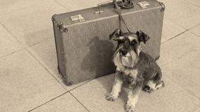 Sznaucer wślizgnął się do walizki swojego pana i poleciał do Japonii
