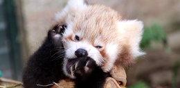 Najsłodsza panda na świecie
