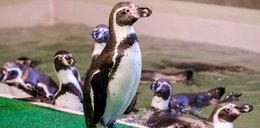 Po 43 latach pingwiny wróciły do Chorzowa