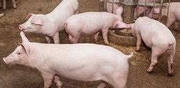 Dach runął na 2 tysiące świń. Wszystkie zwierzęta zginęły