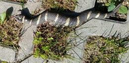 Wezwała policję, bo zobaczyła węża. Tego się nie spodziewała!