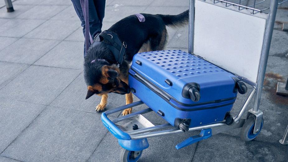 Pies do wykrywania narkotyków. Jak wygląda jego szkolenie?