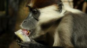Jedzą lody i kąpią się w basenach. Jak zwierzęta we wrocławskim zoo radzą sobie z upałem?