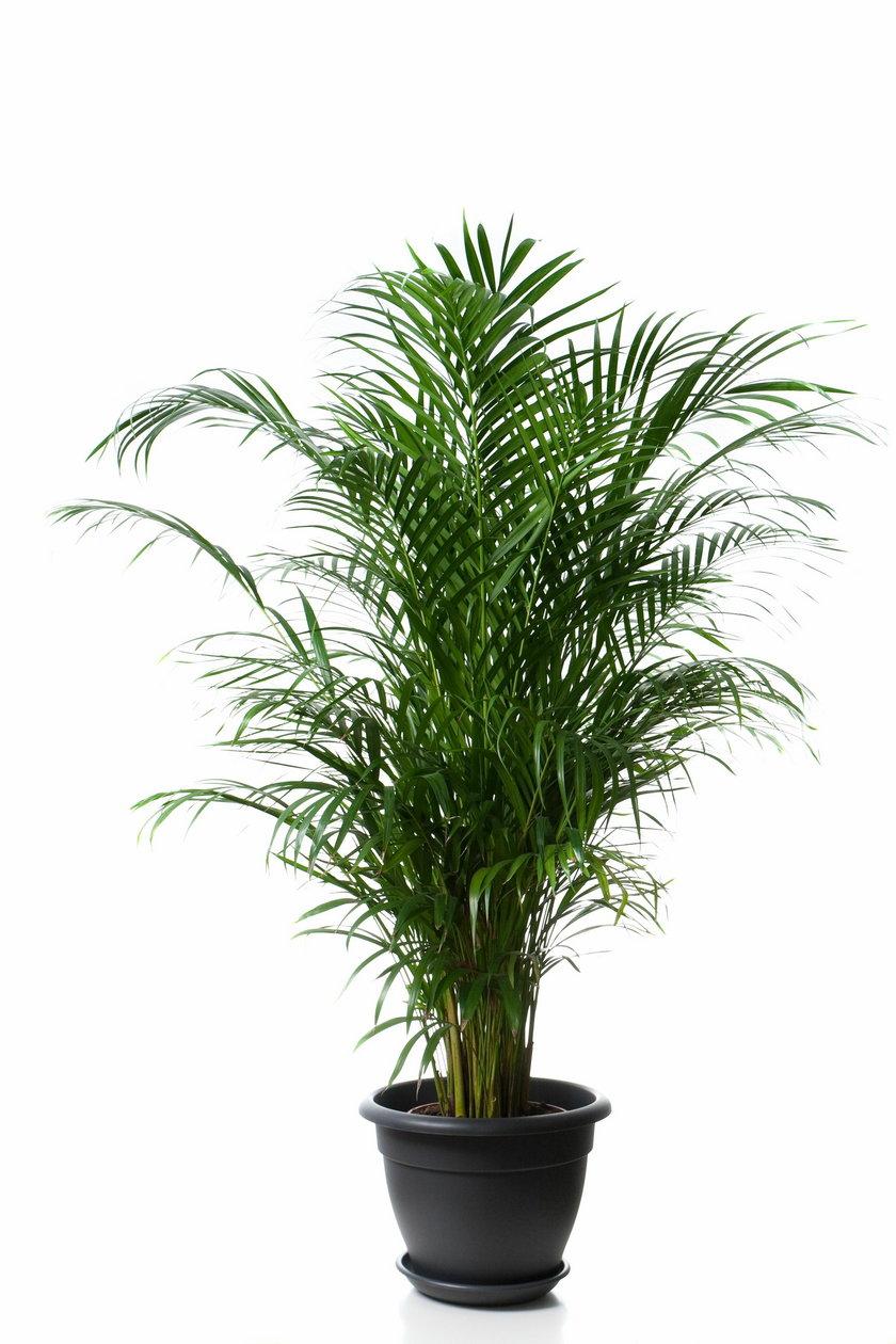 Złotowiec żółtawy (Chrysalidocarpus lutescens)