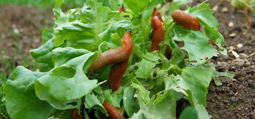 Jak pozbyć się ślimaków z ogrodu? Które z nich są największymi szkodnikami?
