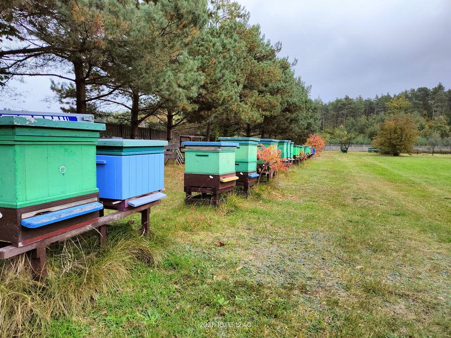 Zgnilec amerykański atakuje pszczoły w Łódzkiem. Jak z nim walczyć?