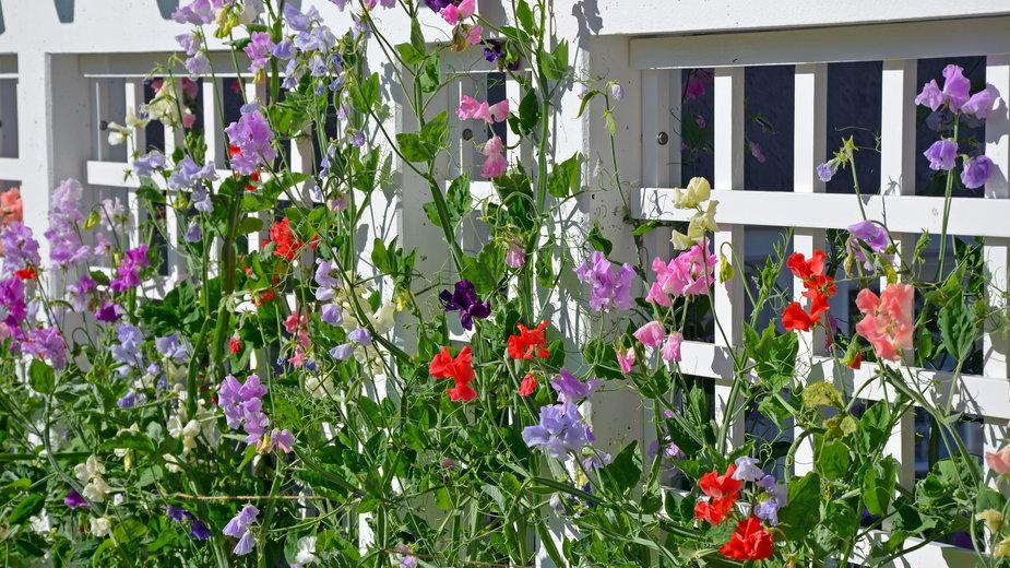 Groszek pachnący ma ozdobne kwiaty - perlphoto/stock.adobe.com