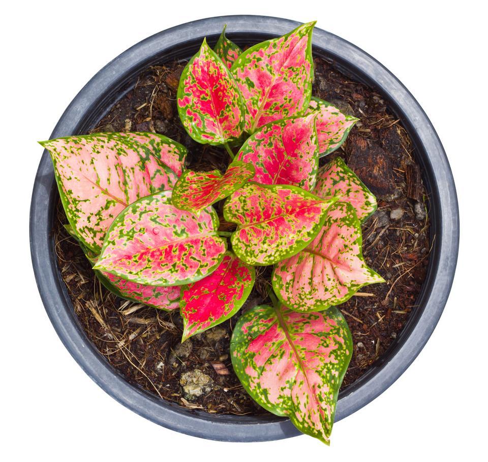 7. Aglaonema (Aglaonema Schott)