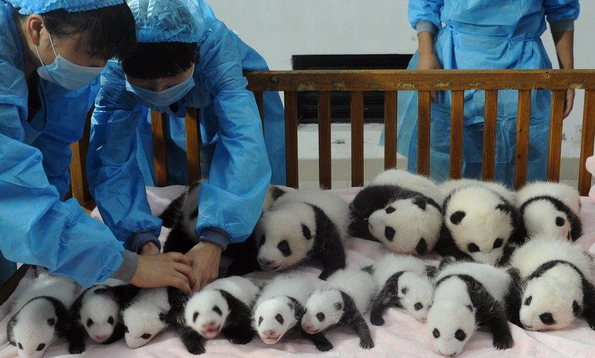Chińskie małe pandy
