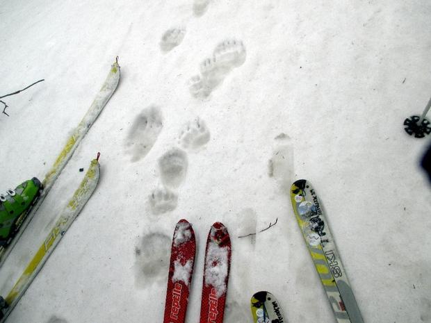 Niedźwiedzie ślady