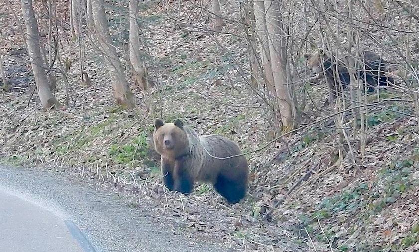 Bieszczadzkie niedźwiedzie już się obudziły. Można je spotkać nawet przy drogach