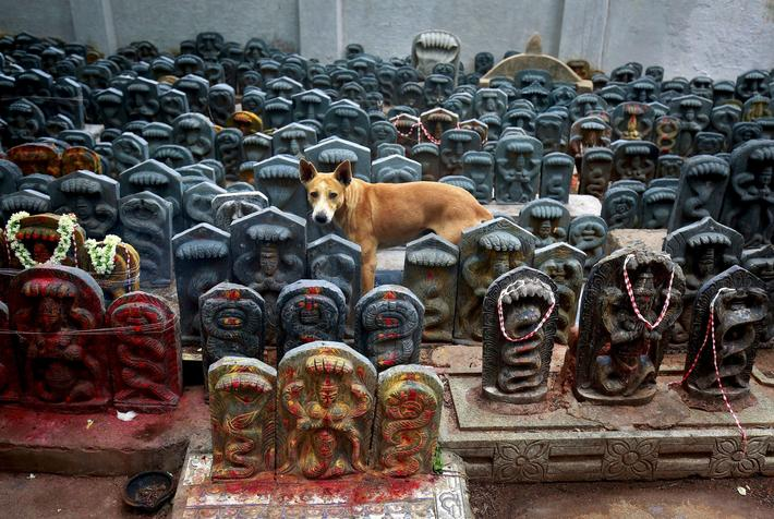 A stray dog stands amidst consecrated idols of snakes during the Hindu festival of Nag Panchami, whi