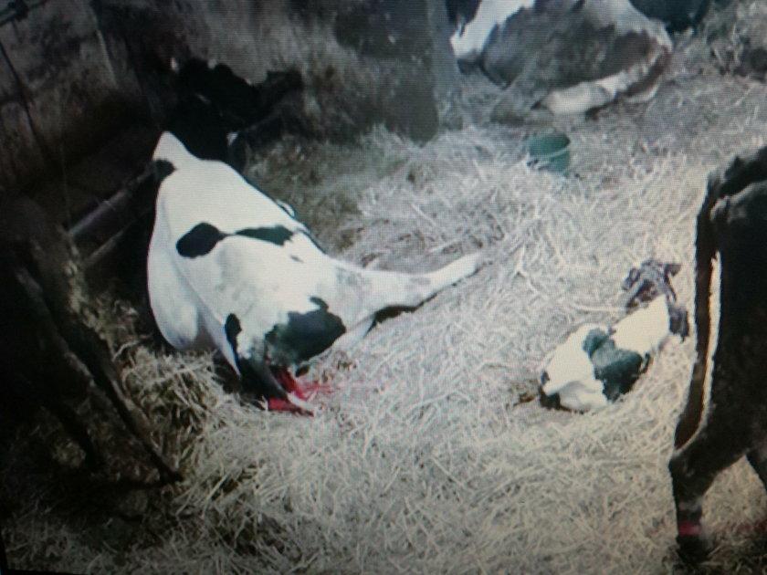 Ofiarą wojny sąsiadów padła krowa