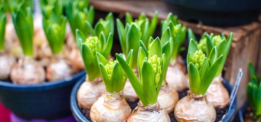 Co warto wiedzieć o cebulach kwiatowych? O tym jeszcze nie słyszałeś!