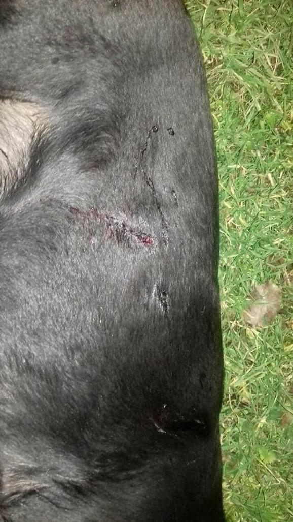 Ženka labradora ubijena iz lovacke puške