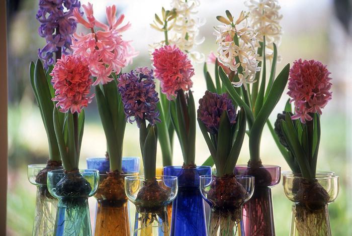 Do uprawy hiacyntów w szkle można użyć specjalnie do tego przeznaczonego naczynia, nada się również szklany wazon