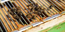Dramatyczny apel pszczelarzy. Ministerstwo truje pszczoły?