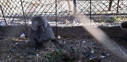 Dramat zwierząt w zoo w Gazie