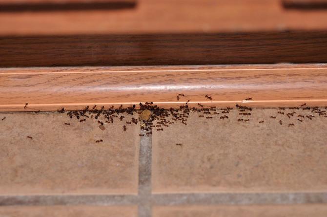 Najezdu mrava sprečite cimetom, limunom ili sirćetom