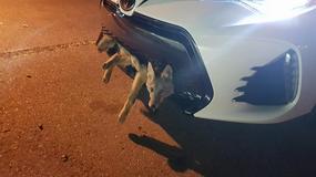 Kojot mocniejszy od Toyoty