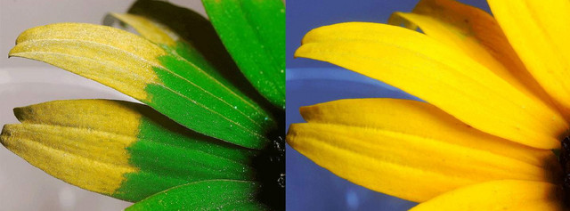 Gde mi vidimo žuti cvet, pčele vide žuto-zelene latice