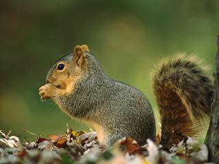Northern Fox Squirrel (Sciurus niger) side view portrait, North America