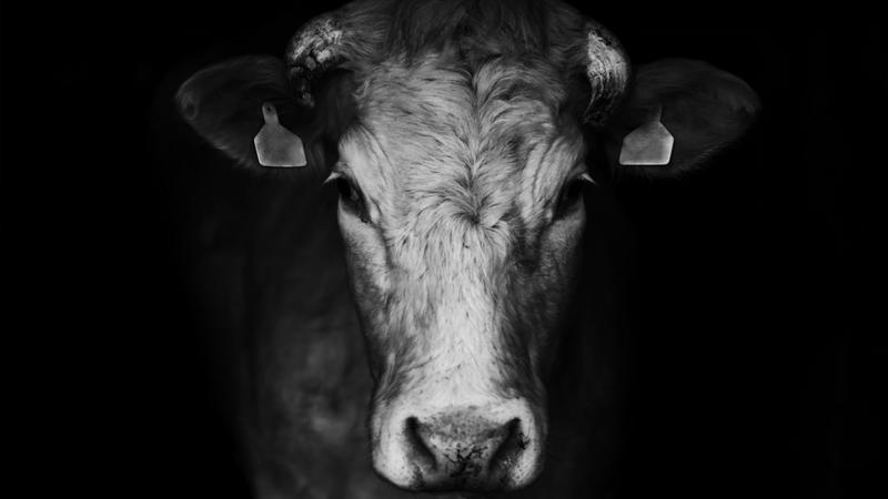 Ktoś zabija krowy i wycina im organy. Dlaczego?