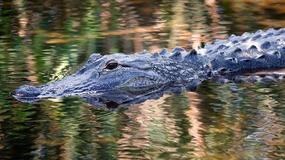 Aligator porwał dziecko w pobliżu Disneylandu na Florydzie
