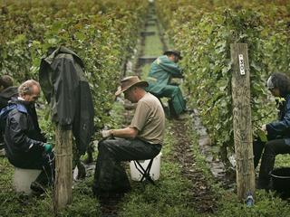 Grape Harvest begins At UK'S Award Winning Vineyard