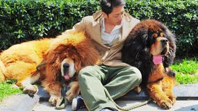 Najdroższy pies świata. W Chinach sprzedano mastifa tybetańskiego za 12 mln juanów - zdjęcie dnia