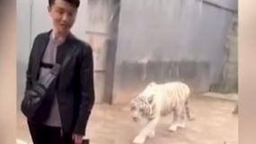 Tygrys chciał zaatakować odwiedzającego w zoo