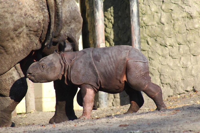 Mały nosorożec ze stołecznego ZOO