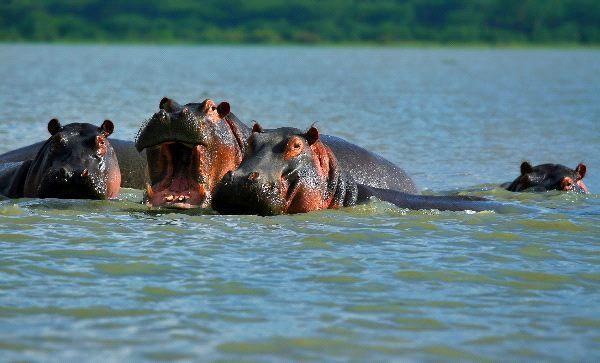 Family Of Hippopotamuses On Lake Naivasha Kenya
