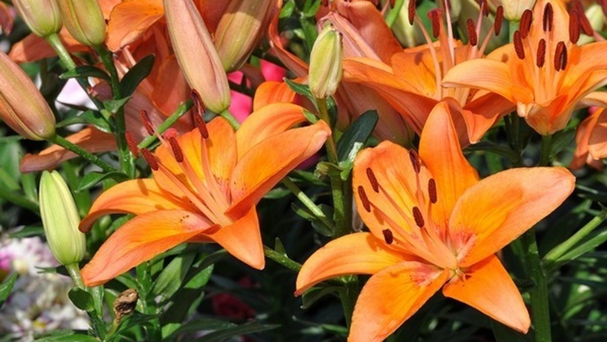 Uprawa Kwiatow Cebulowych Bez Tajemnic Gazetaprawna Pl